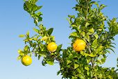 image of valencia-orange  - Trees with orange typical in the province of Valencia Spain - JPG
