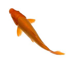 picture of koi fish  - Orange Koi  - JPG