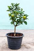 picture of coir  - Young lemon tree with a few fruit plant in pot - JPG