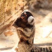 stock photo of marmosets  - Close up Common Marmoset on the floor