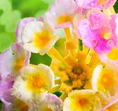 picture of lantana  - Lantana camara flower with drops on green blur background closeup - JPG
