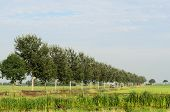 picture of tree lined street  - Tree avenue in a typical flat green rural landscape in Holland - JPG