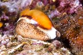 stock photo of snail-shell  - A beautiful cowry snail - JPG