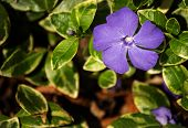 stock photo of minos  - Purple Periwinkle flower with green background in garden - JPG