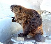stock photo of beaver  - North American beaver standing on a ledge of ice - JPG