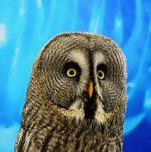 foto of laplander  - Portrait of Great Grey Owl or Lapland Owl  - JPG