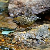 picture of babbler  - Brown Babbler bird - JPG