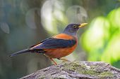 foto of brown thrush  - Colorful brown and black bird - JPG