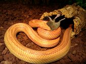 pic of dead mouse  - A orange albino Snake eat a mouse