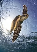 picture of endangered species  - hawksbill sea turtle, a critically endangered species
