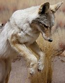 pic of coyote  - front legs - JPG
