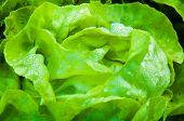picture of butter-lettuce  - Closeup on fresh wet lettuce in the garden - JPG