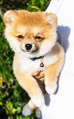 image of miniature pomeranian spitz puppy  - Fluffyl Pomeranian Puppy In Hand  - JPG