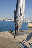 pic of spearfishing  - mediterranean spearfish billfish head tetrapturus belone marlin - JPG