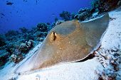 foto of venomous animals  - big feather tail sting ray resting on the sand - JPG
