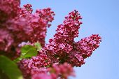 picture of lilac bush  - Branch of a blossoming lilac against the blue sky in May - JPG