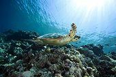 pic of endangered species  - hawksbill turtle - JPG