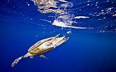 foto of endangered species  - hawksbill turtle - JPG