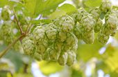 stock photo of bine  - Ripe green hop cones branch taken closeup - JPG