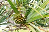 foto of monocots  - Fruit of Common screwpine  - JPG