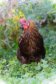 picture of laying eggs  - A egg laying hens in the yard - JPG