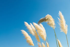 foto of pampa  - Pampas grass feathers bent by a breeze against a blue sky - JPG