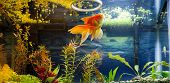 picture of weed  - Fancy Red Gold Fish snacking on duck weed from the water surface - JPG