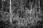 stock photo of ash-tree  - Australian forest scenic with ferns ash and gum trees near Marysville Victoria in black and white - JPG