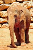 image of biblical  - Asian Elephant in Jerusalem Biblical Zoo Jerusalem Israel - JPG