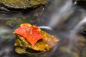 image of flow  - A colorful wet autumn leaf rests on a rock surrounded by the flowing water of a small creek - JPG