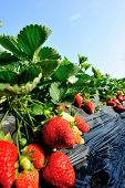 foto of strawberry plant  - strawberry  plants in growth at field under sky - JPG