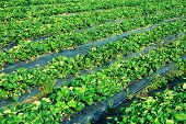 foto of strawberry plant  - green strawberry plants in growth at garden - JPG