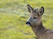picture of roebuck  - Young deer captured in the  wild nature - JPG