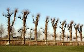pic of linden-tree  - Pruned linden trees on the ground of Borg Ewsum in Loppersum - JPG