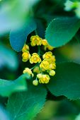 stock photo of barberry  - barberry yellow bloom - JPG