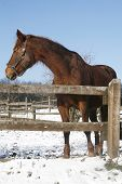 pic of bay horse  - Warm Blood Bay Horse Standing In Winter Corral Rural Scene - JPG