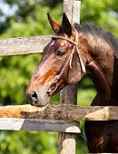 picture of beautiful horses  - Beautiful bay horse looks out of the fence - JPG