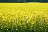 picture of biodiesel  - Huge field of GMO rapeseed for production of biodiesel - JPG