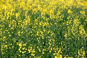 stock photo of biodiesel  - GMO rapeseed plants on a huge field for production of biodiesel - JPG