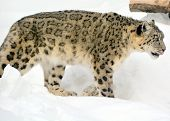 foto of endangered species  - The snow leopard  - JPG