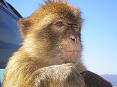 stock photo of ape  - A Barbary ape in Gibraltar near Spain on a hot and sunny day - JPG