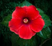 picture of rose sharon  - Perfect Red Hibiscus Blossom in Natural Environment - JPG
