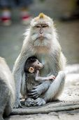 pic of macaque  - Long Tailed Macaque with her Infant Sacred Monkey Forest Ubud - JPG