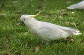 stock photo of cockatoos  - Large white cockatoo parrot from the forests of Australia - JPG