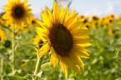 stock photo of sunflower  - beautiful sunflower in a field in summer - JPG