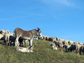 stock photo of counting sheep  - Donkey with the flock of sheep to graze in the mountains - JPG
