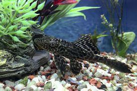 stock photo of cave-dweller  - Hypostomus Plecostomus bottom dweller cat fish or algae sucker checking underwater rocks and caves - JPG