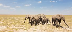 pic of calf  - Herd of african elephants in savanna - JPG