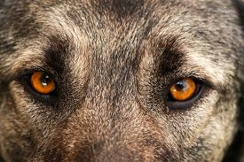 picture of animal eyes  - Dog face - JPG