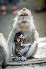 stock photo of macaque  - Long Tailed Macaque with her Infant Sacred Monkey Forest Ubud - JPG